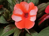 認識植物(68) 新椰椴楊楓極榆榔滇煉煙猿獅瑞:新幾內亞鳳仙花aj0600.JPG