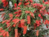 認識植物2.0 (33) 串亨伸佛克:串錢柳 y4451.JPG