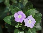 認識植物2.0 (59) 長:長春花 v5348.JPG