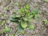 認識植物2.0 (63) 南:南嶺蕘花dw6836.JPG