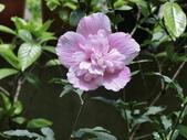植物隨手拍 X:木槿 x7235.JPG