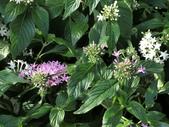 植物隨手拍 X:繁星花 x4321.JPG
