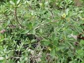 植物隨手拍 AR:水芫花ar6871.JPG