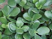 植物隨手拍 BP:樹馬齒莧bp7019.JPG