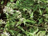 認識植物(50) 高鬼偃假:高士佛澤蘭as2694.JPG