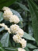 認識植物2.0 (34) 兵冷卵君含:冷青草xx03.jpg
