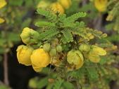 認識植物2.0 (59) 長:長春槐bf9384.JPG