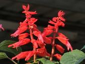 植物隨手拍 A:一串紅 a6181.JPG