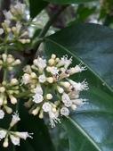 認識植物2.0 (22) 皮矢石禾立:皮孫木xx02.jpg