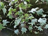 認識植物2.0 (59) 長:長春藤 n1576.JPG