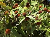 植物隨手拍 H:毛柿 h0498.JPG