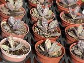植物隨手拍 BP:蝴蝶之舞bp6108.JPG