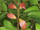 認識植物(56) 釣閉陰陸雀雪魚鳥鹵:陰香dk4543.JPG