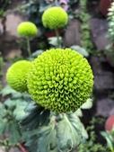 認識植物2.0 (23) 乒交伊伏光:乒乓菊xx03.jpg
