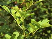 植物隨手拍 J:巴西胡椒木 j3689.JPG