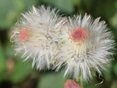 植物隨手拍 X:昭和草 x7788.JPG
