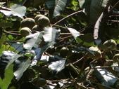 植物隨手拍 AR:石栗ar1103.JPG