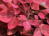 植物隨手拍CW:小紅楓cw6887.JPG