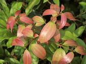 認識植物(56) 釣閉陰陸雀雪魚鳥鹵:陰香dk4894.JPG