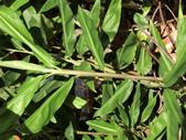 認識植物2.0 (63) 南:南薑ej4300.JPG