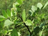 植物隨手拍 J:巴西胡椒木 j5230.JPG