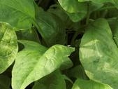 認識植物(63) 菜菝菟菠菩菫華菱菲菸菾萎著蛛蛟裂:菠菜ce6455.JPG