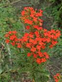 認識植物2.0 (59) 長:長壽花bq1030.JPG