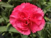 植物隨手拍 X:康乃馨 x8689.JPG