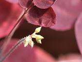植物隨手拍CW:小紅楓cw6885.JPG