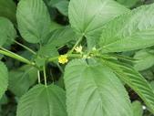 認識植物2.0 (59) 長:長蒴黃麻dg8670.JPG