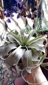 認識植物2.0 (59) 長:長捲葉霸王空鳳xx03.jpg