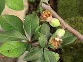 認識植物(58) 寒戟掌提散敦斐斑:寒梅bt9311.JPG