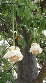認識植物(60) 猢猩猴琴番畫短硬筆筑:猢猻樹xx03.jpg