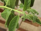 植物隨手拍EB:冷飯藤eb8142.JPG