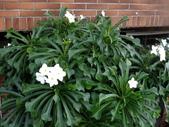 認識植物(58) 寒戟掌提散敦斐斑:戟業緬梔xx01.jpg