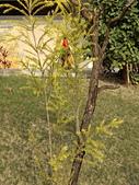 認識植物(70) 腰萬萱萼落葉葎葛葡葫葶蒂:落羽杉cn7615.JPG