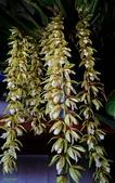 認識植物2.0 (59) 長:長橞貝母蘭xx01.jpg