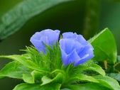 認識植物2.0 (59) 長:長梗毛蛾房藤xx02.jpg