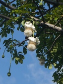 認識植物(60) 猢猩猴琴番畫短硬筆筑:猢猻樹xx04.jpg