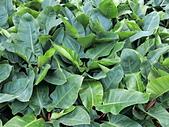 植物隨手拍 BP:綠鑽蔓綠絨bp5122.JPG