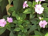 植物隨手拍CW:超級鳳仙cv9191.JPG
