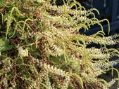 認識植物(70) 腰萬萱萼落葉葎葛葡葫葶蒂:落葵薯ag4101.JPG