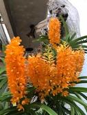 認識植物2.0 (29) 百竹:百代蘭xx03.jpg