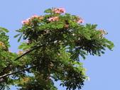 認識植物2.0 (61) 雨青:雨豆樹ax3616.JPG