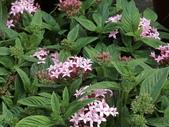 植物隨手拍 X:繁星花 x5925.JPG