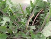 植物隨手拍EI:台灣蒲公英ei9118.JPG