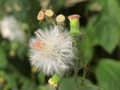 植物隨手拍 X:昭和草 x7932.JPG