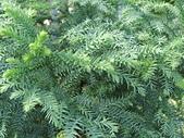 植物隨手拍CW:不老松cw2206.JPG