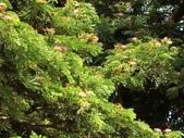 認識植物2.0 (61) 雨青:雨豆樹ax3622.JPG