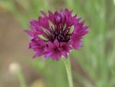 認識植物2.0 (22) 皮矢石禾立:矢車菊dr3442.JPG